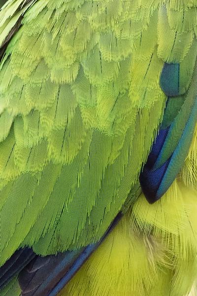 Feather Closeup: Nanday Parakeet<br /> Location: Sarasota County, FL