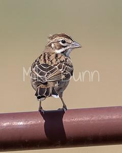 Lark Sparrow-14