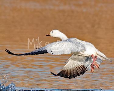 Snow Goose-2