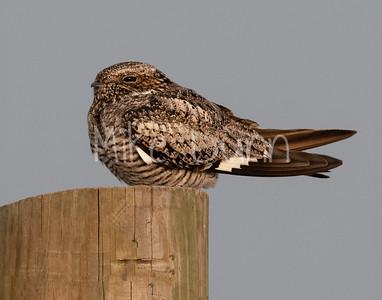 Common Nighthawk-15