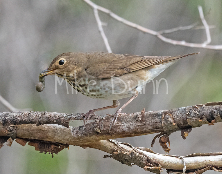Swainsons Thrush-4