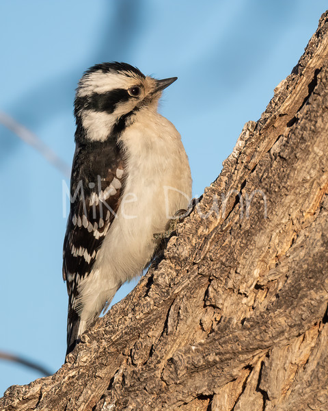 Downy Woodpecker-6