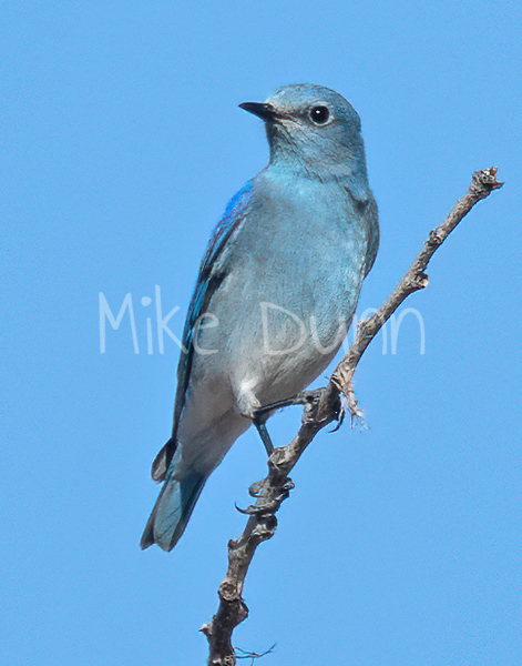 Mountain Bluebird-11
