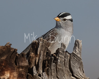 White-Crowned Sparrow-4