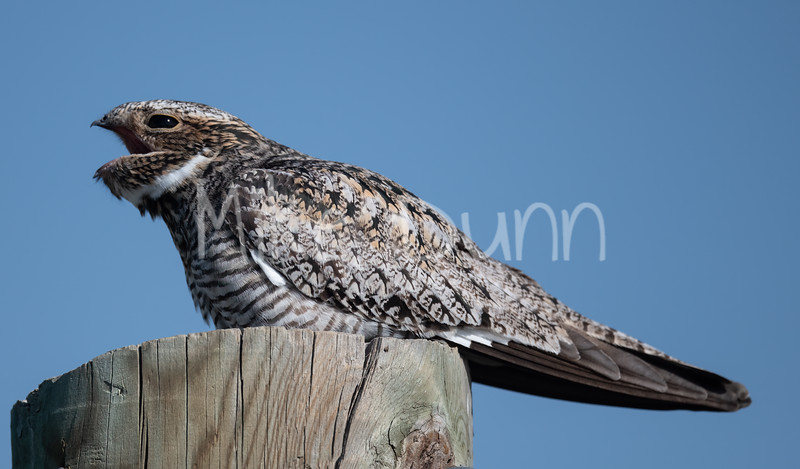 Common Nighthawk-13