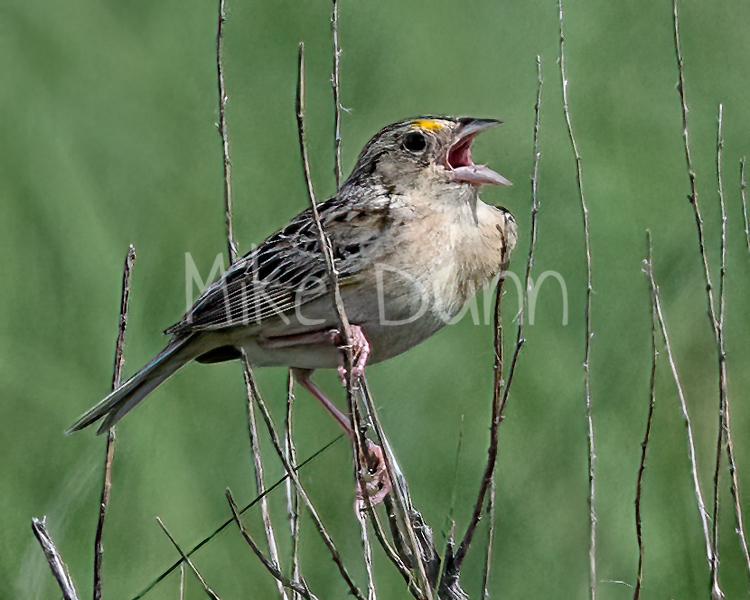 Grasshopper Sparrow-12