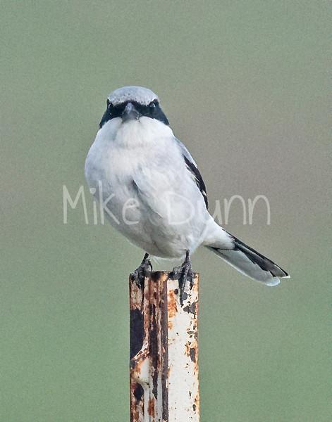 Loggerhead Shrike-13