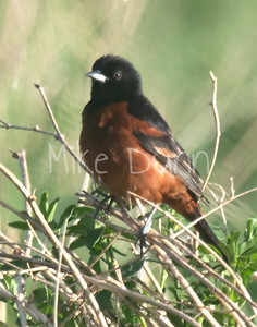 Orchard Oriole-2