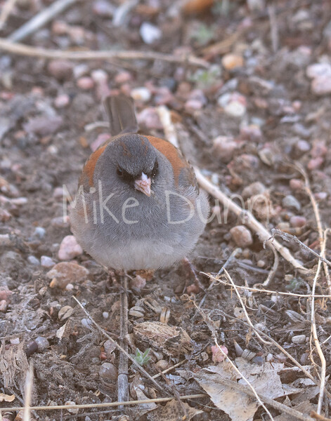 Dark-eyed Junco-7