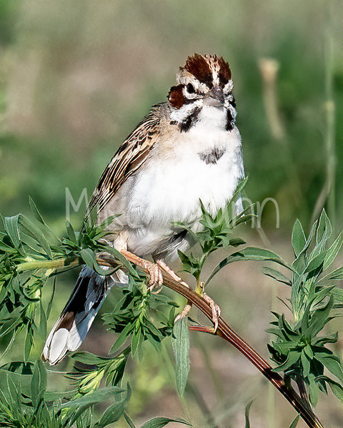 Lark Sparrow-12