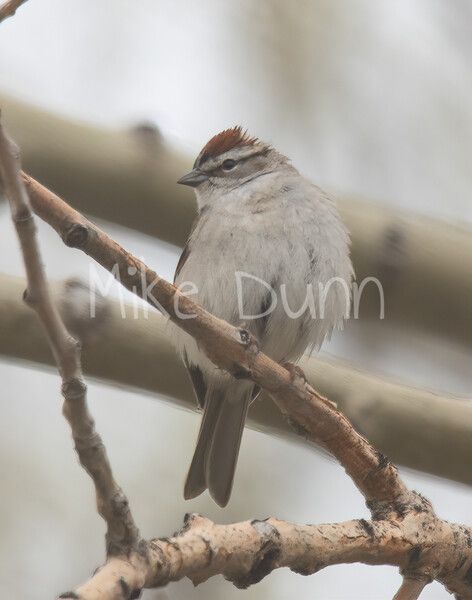 Chipping Sparrow-3