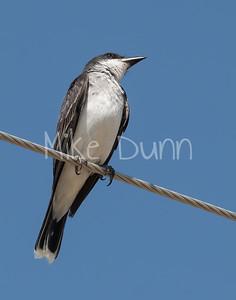 Eastern Kingbird-10