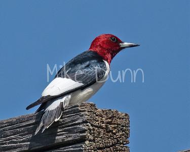 Red-headed Woodpecker-8