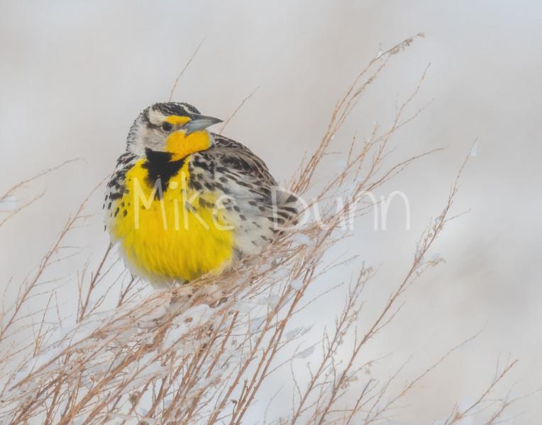 Western Meadowlark-4