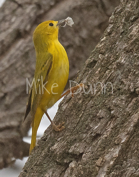 Yellow Warbler-4