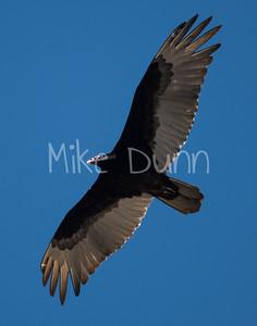 Turkey Vulture-6