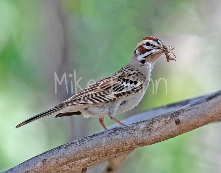 Lark Sparrow-5
