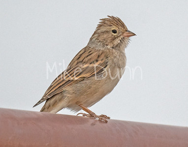 Brewer's Sparrow-1
