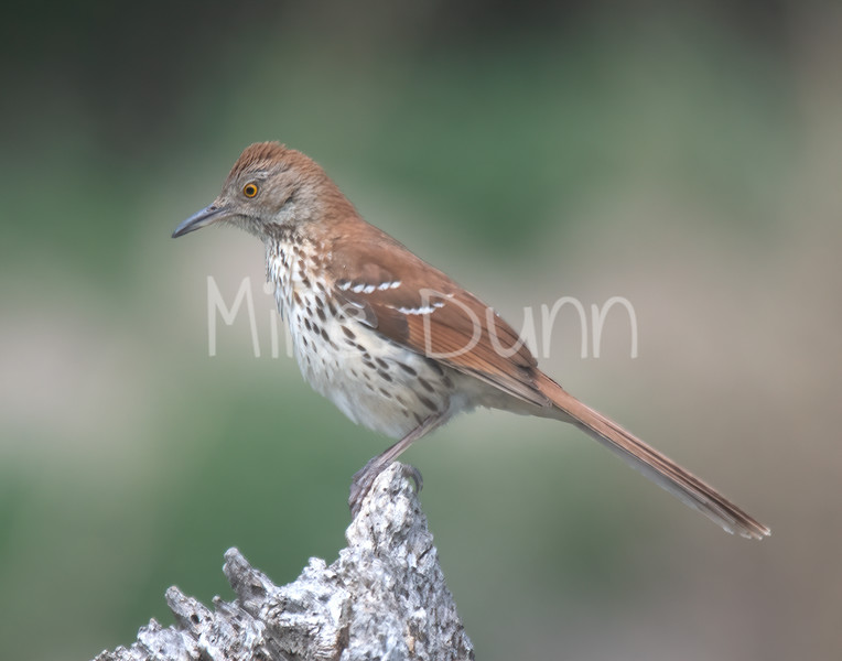 Brown Thrasher-1
