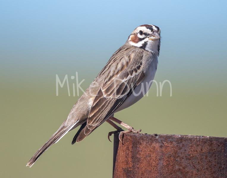 Lark Sparrow-1