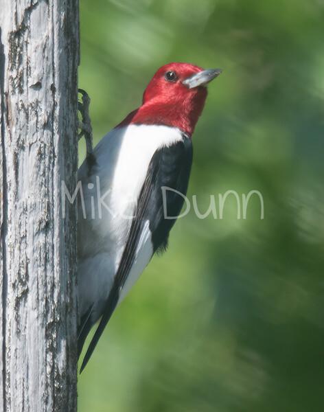 Red-headed Woodpecker-2