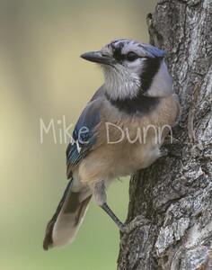 Blue Jay-1