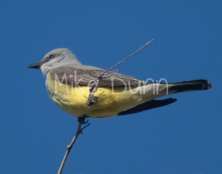 Western Kingbird-5