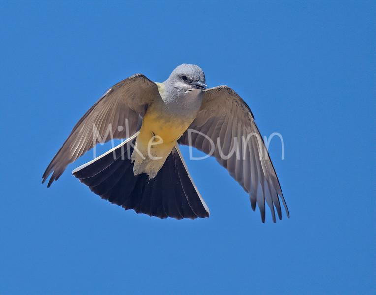 Western Kingbird-9