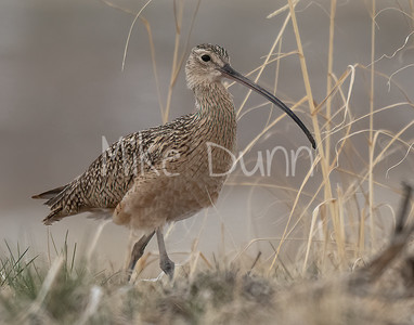 Long-billed Curlew-6