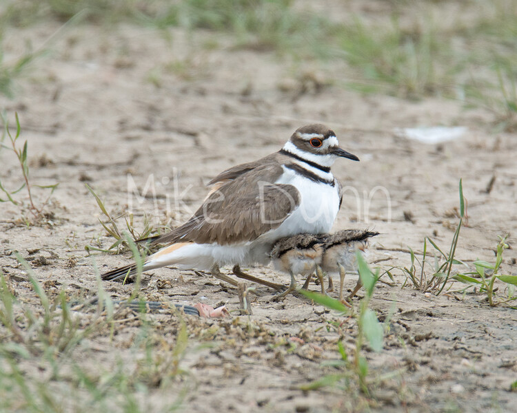 Killdeer-3
