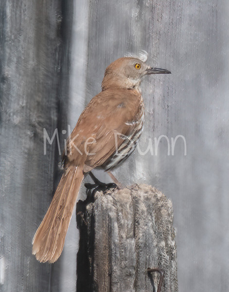 Brown Thrasher-4