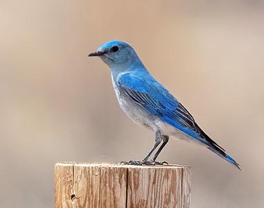 Mountain Bluebird-16