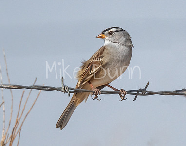 White-Crowned Sparrow-2