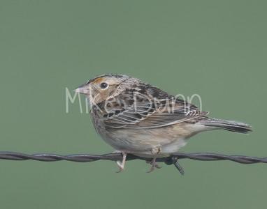 Grasshopper Sparrow-3