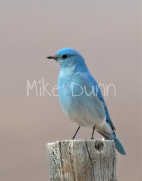 Mountain Bluebird-5