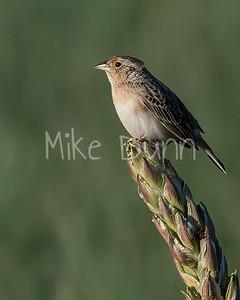 Grasshopper Sparrow-10