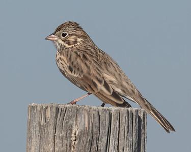 Vesper Sparrow-6