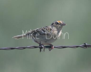 Grasshopper Sparrow-1