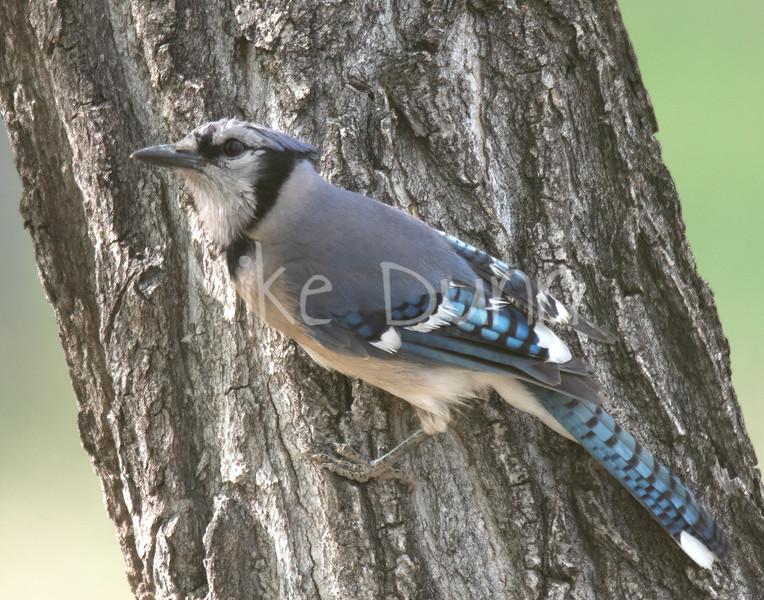 Blue Jay-2