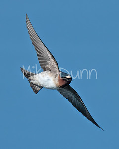 Cliff Swallow-2