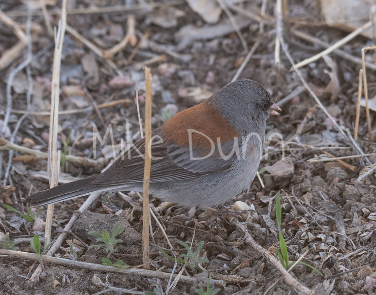 Dark-eyed Junco-6