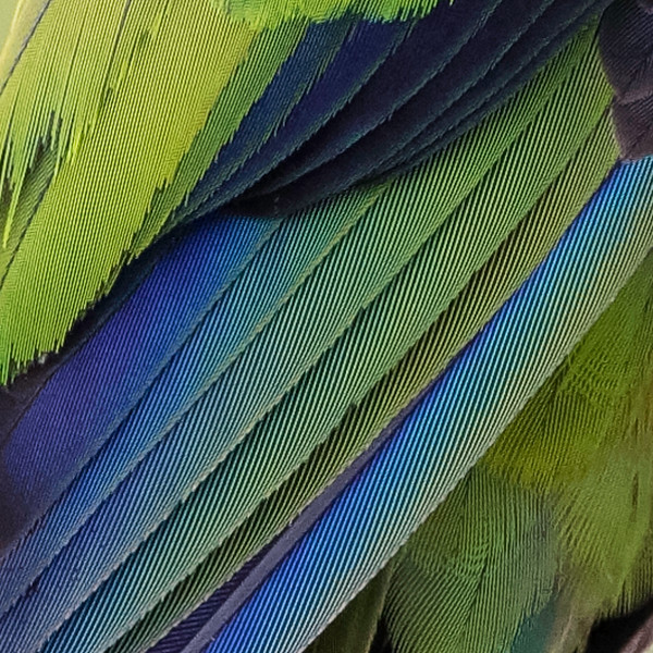 Nanday Parkeet feathers