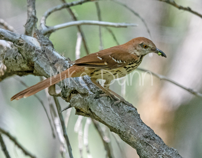 Brown Thrasher-9