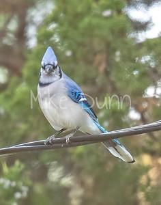 Blue Jay-3