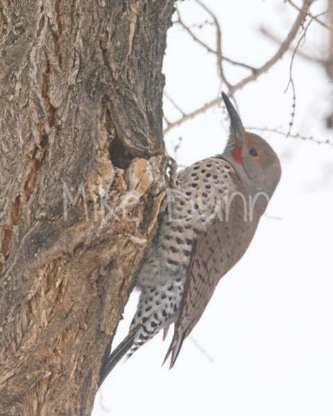 Northern Flicker-1