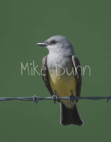 Western Kingbird-1