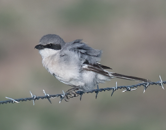 Loggerhead Shrike-11