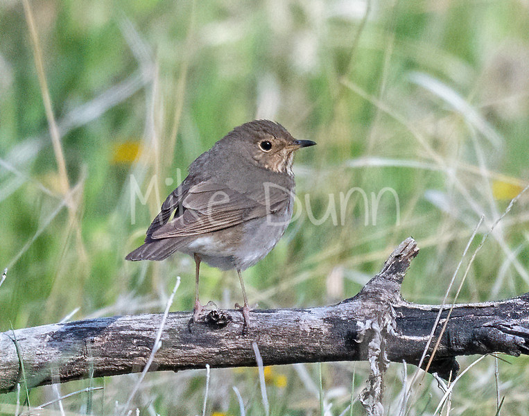 Swainsons Thrush-3