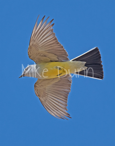 Western Kingbird-13