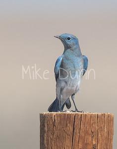 Mountain Bluebird-12